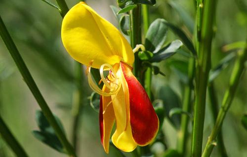 Flor de la retama roja